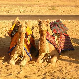 Safari en camello Jaisalmer rajastan