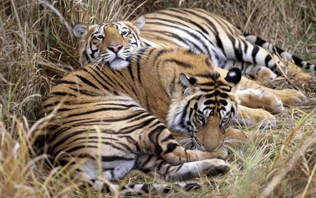 Bandhavgarh Parque Nacional Tigre