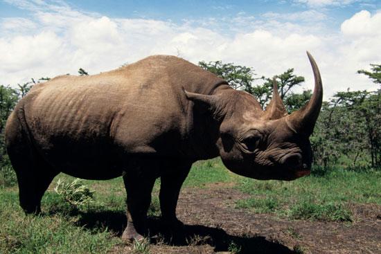 Rinocerente en Kaziranga