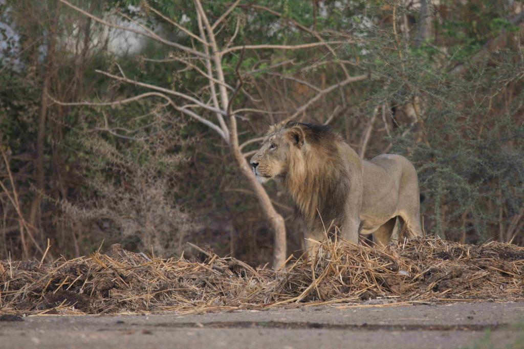 León en Sundervana