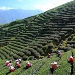 Jardin de te Darjeeling